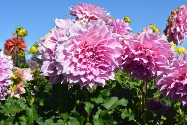 and more dahlias